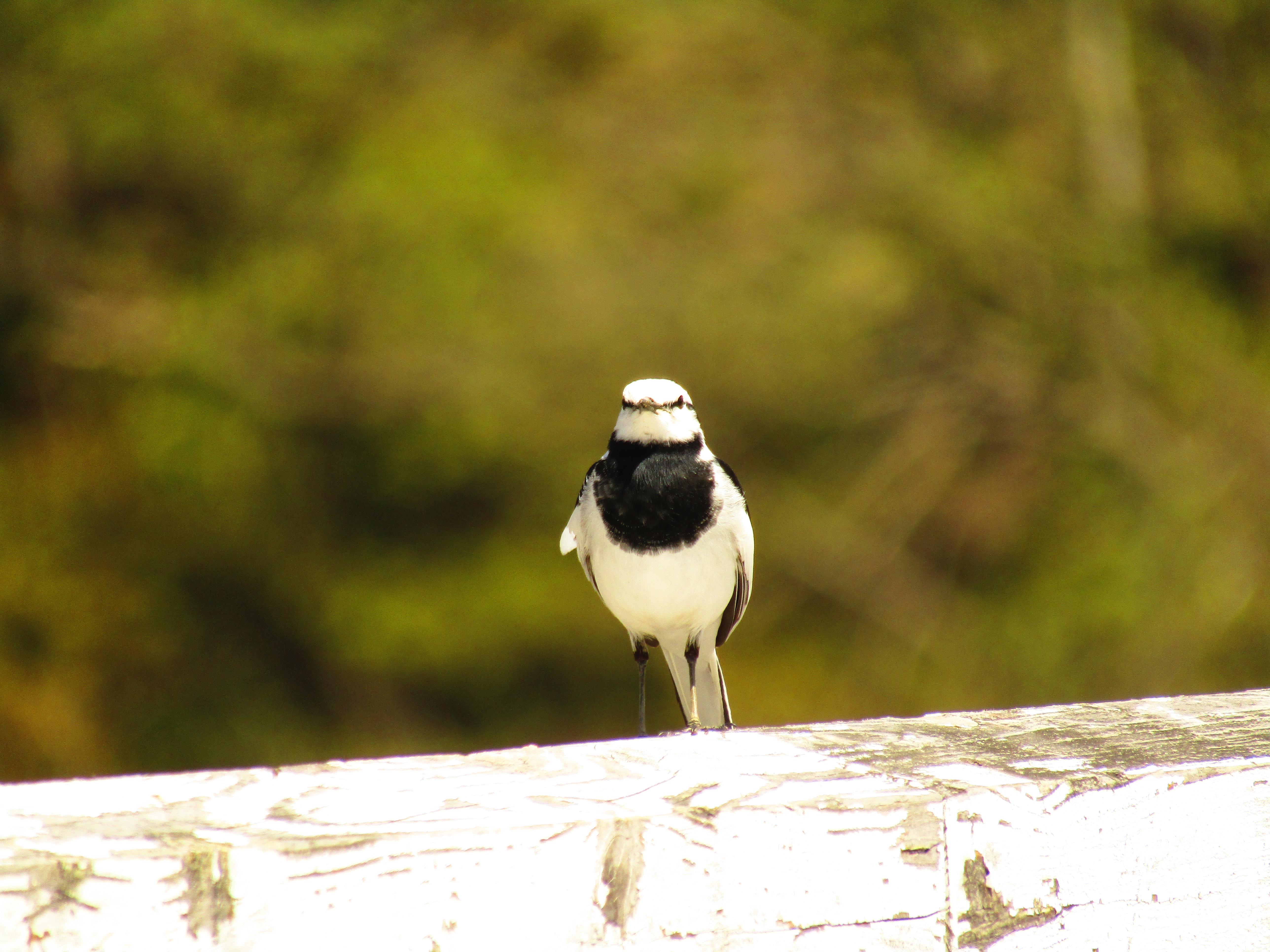 鳴き声 ハクセキレイ 【即日対応・見積無料など】セキレイとはどんな害鳥?生態や被害が起こる原因などを解説